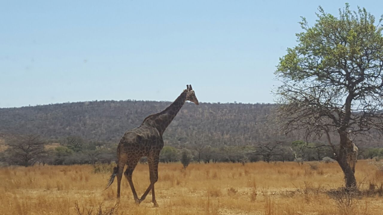 Giraffe of Highlands